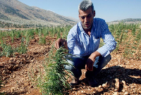 cannabis-plants-lebanon