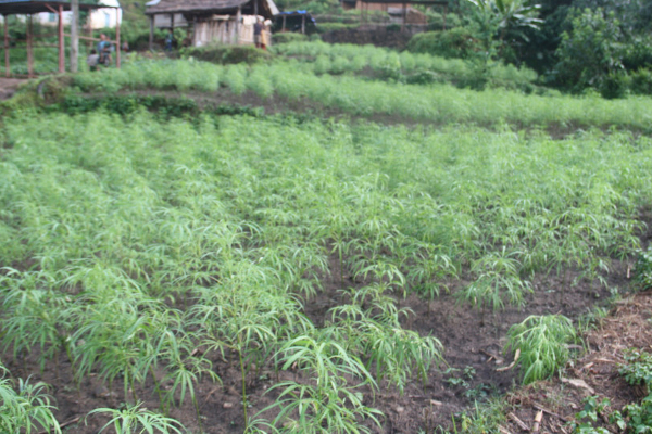 nepal cannabis cultivation