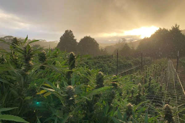 us cannabis field humboldt